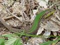 Karstläufer (Podarcis melisellensis)