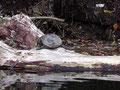 釣り場によく居るカメです。たまに気づかずに近づくと、せっかく甲羅干しをしている所を邪魔してしまいます。倒木からボッチャン、ボッチャン5発6発続くとなんか申し訳ないような、、、。