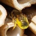 24.05.2015 : Wildbiene, die in den Zwischenräumen nistet