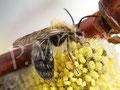 23.03.2015 : Männchen der Rotbeinigen Lockensandbiene, Andrena clarkella, an der Weide