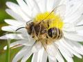 02.04.2015 : kleine Wildbiene am Gänseblümchen