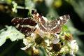 Zwei Landkärtchen (Araschnia levana)