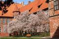 Magnolienblüte im Rathausgarten