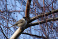 Meise; Sumpfmeise (Poecile palustris)