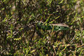 Zauneidechse (Lacerta agilis) (Männchen)