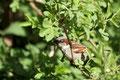 (Haus-)sperling (Passer domesticus); Männchen