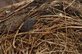 Überbleibsel in einem verlassenen Nest: die Feder eines Jungvogels