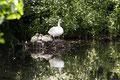 Familie Höckerschwan auf einem Teich in Lensian