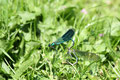 Gebänderte Prachtlibellen (Calopteryx splendens) bei der Paarung