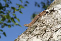 Zauneidechse (Lacerta agilis); Weibchen