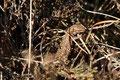 Waldeidechse (Zootoca vivipara