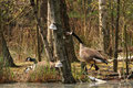 (Kanada)gans (Branta canadensis); Enten