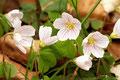 Wald - Sauerklee (Oxalis acetosella); Sauerkleegewächse