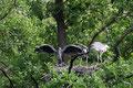 Graureiher (Ardea cinerea); Schreitvogel