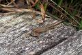 Zauneidechse (Lacerta agilis)