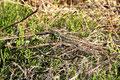 Zauneidechsenmännchen zur Paarungszeit