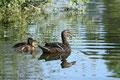 (Stock)entenmama (Anas platyrhynchos) mit ihren Küken; Enten