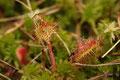 Rundblättgriger Sonnentau (Drosera rotundifolia)