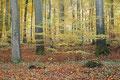 Rotbuchenwald (Fagus sylvatica) im Herbst / ch196871