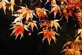 Fächer-Ahorn (Acer palmatum) / ch196877