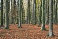 Rotbuchenwald (Fagus sylvatica) im Herbst /  / ch196867