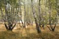 Hängebirken (Betula pendula, Betula alba, Betula verrucosa) / ch196677