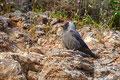 Corvus monedula - Jackdaw - Dohle, Cyprus, Asprokremmos Dam, April 2011