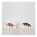 Kupfer-Käfer & Juwelen-Käfer