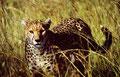 Gepard-Ort-Tansania