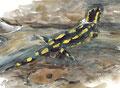 salamandra terrestris