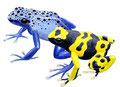 Dendrobates (illustration)