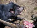 Tasmanische Teufel