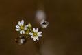 Erophila verna - détail des fleurs - Buxerolles (86) - 22 mars 2010