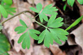 Corydalis solida - feuilles - Aslonnes (86) - 13 /03/2011