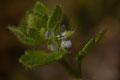 Veronica hederifolia - Buxerolles (86) - 22 mars 2010