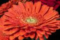 Gerbera (gestackt mit 10 Fotos) ergibt ein fast durchgehend scharfes Bild.