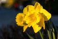 Gelbe Narzisse/Osterglocke (Narcissus pseudonarcissus)