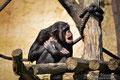 """Schimpanse im Leipziger Zoo """" Ehh Duu """""""