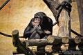"""Schimpanse im Leipziger Zoo """" Wie war das nochmal ? """""""