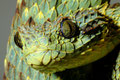 Green Bush Viper (atheris squamigera)