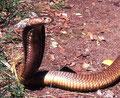 Cobra Sputatore (naja ashei)