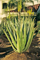 Aloe Vera - die Kraft aus der Natur