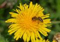 Biene auf einem Löwenzaghn