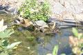 Wassersschildkrötenteich