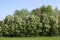 Traubenkirsche (Prunus Padus)