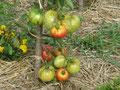 Les tomates servent aussi pour les confitures.