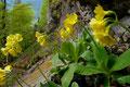 Aurikel am Belchen