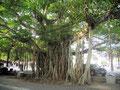 Tropischer Baum mitten in der Altstadt von Mirissa