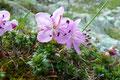 In diesem flachen Teilabschnitt hatte man genügend Zeit, um die Alpenflora zu bewundern. Die Zwergalpenrose gab dem Umfeld einen zart rosaroten Hauch.