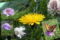 Jetzt jedenfalls genehmigte ich mir für das Bestaunen der Flora jede Menge Zeit. Die Schmetterlinge tanzten von einer Blüte zur Anderen.